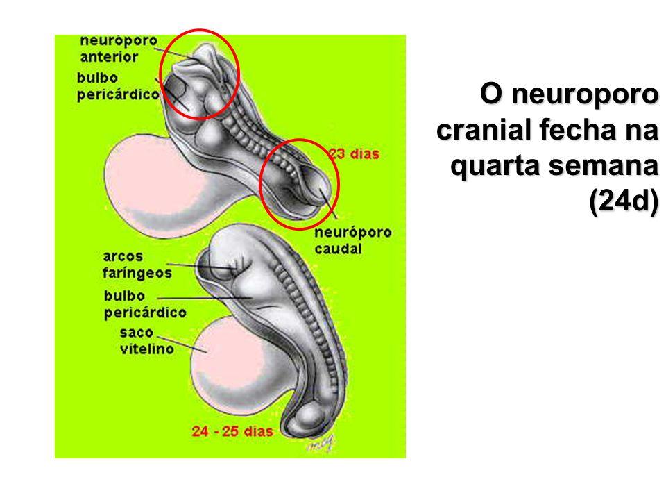 O neuroporo cranial fecha na
