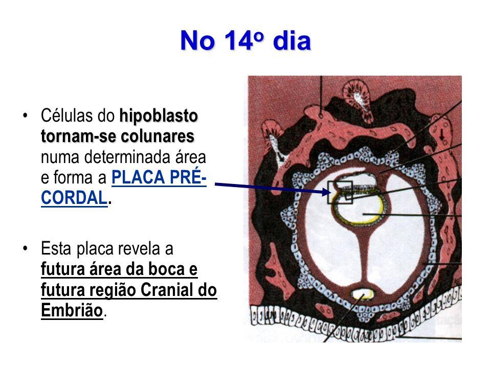 No 14o diaCélulas do hipoblasto tornam-se colunares numa determinada área e forma a PLACA PRÉ-CORDAL.