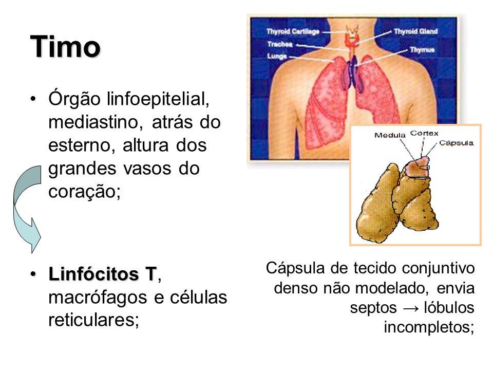 TimoÓrgão linfoepitelial, mediastino, atrás do esterno, altura dos grandes vasos do coração; Linfócitos T, macrófagos e células reticulares;