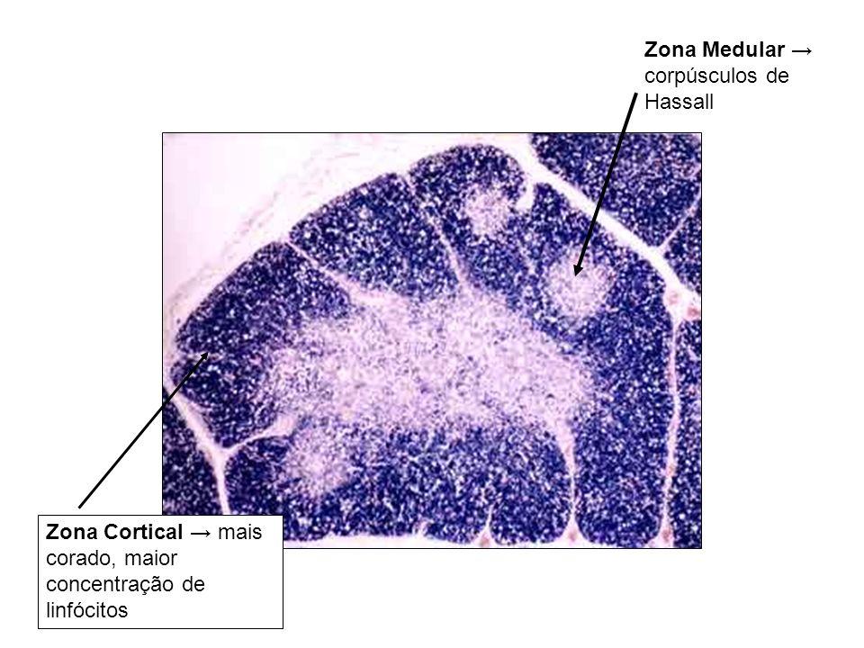 Zona Medular → corpúsculos de Hassall
