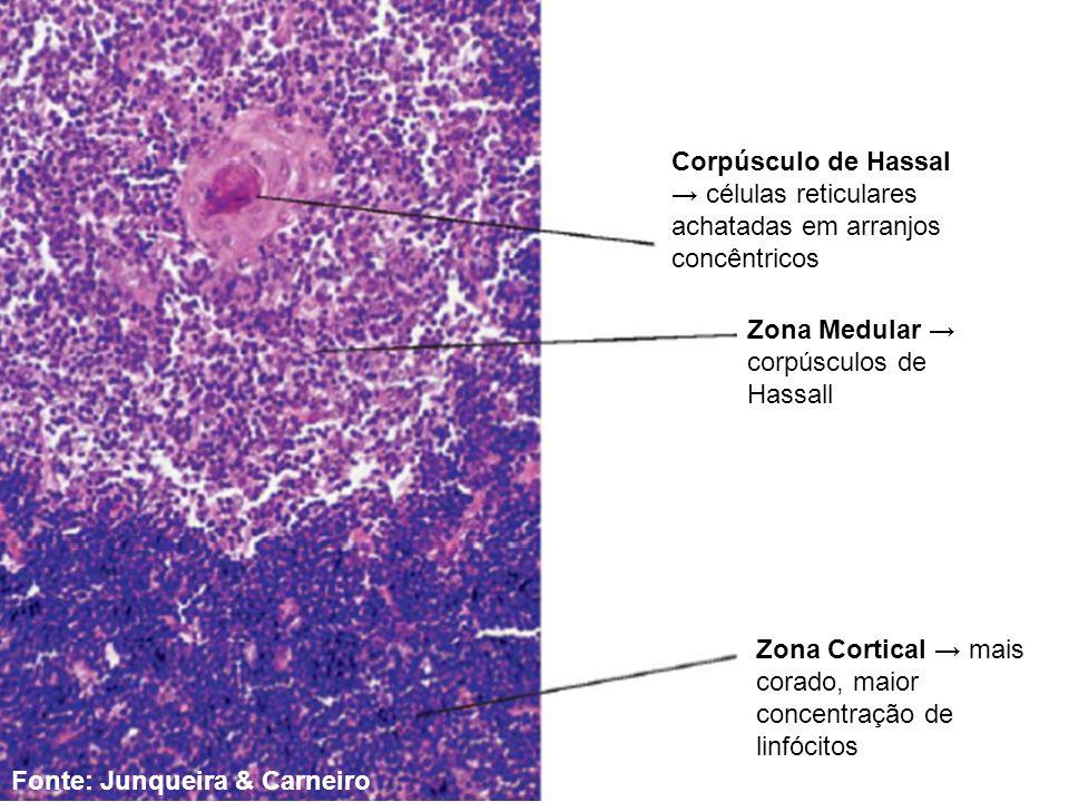 Corpúsculo de Hassal → células reticulares achatadas em arranjos concêntricos