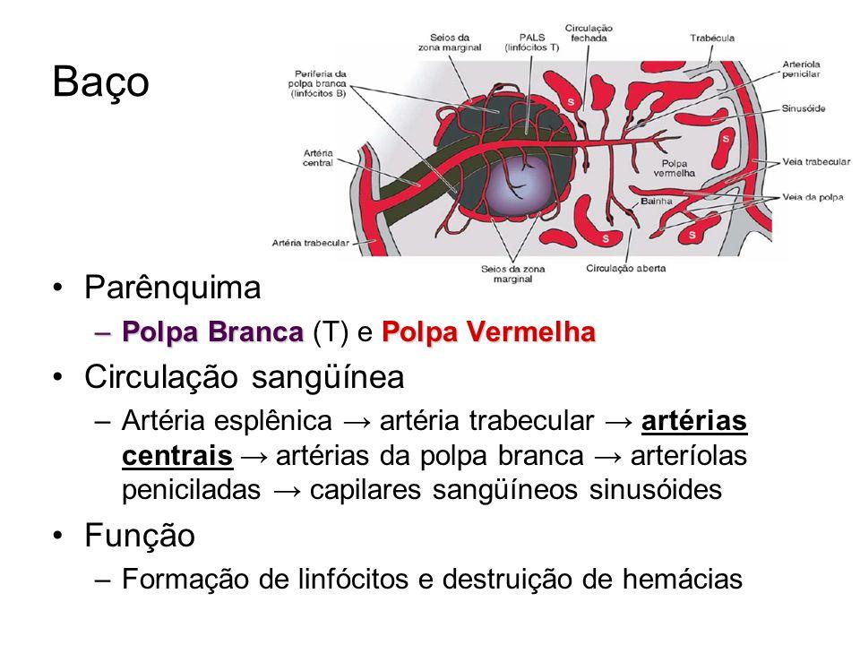 Baço Parênquima Circulação sangüínea Função