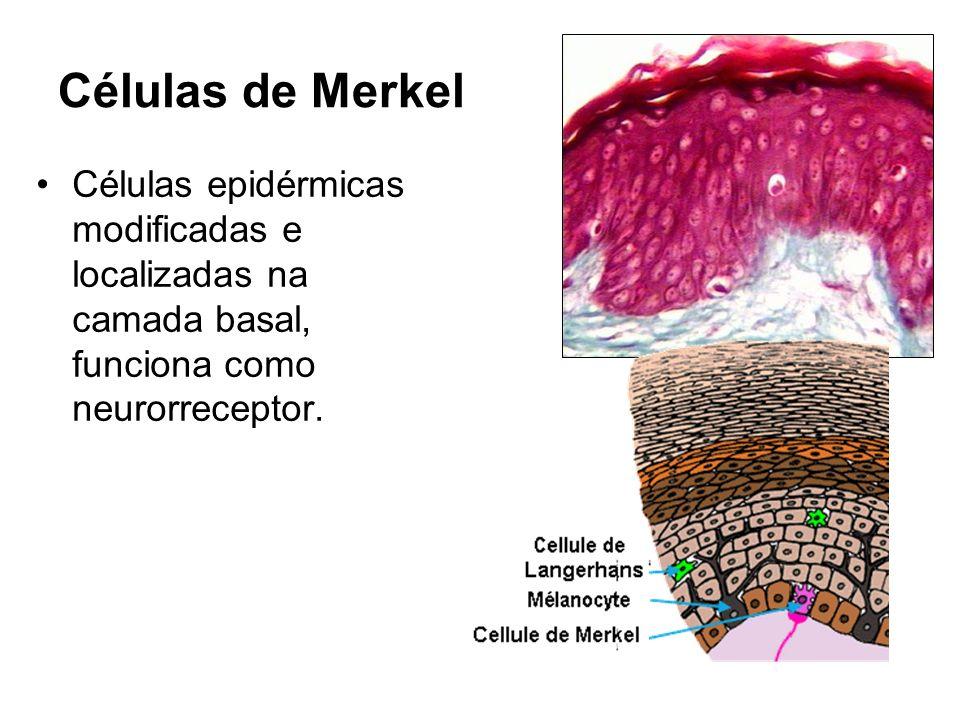 Células de Merkel Células epidérmicas modificadas e localizadas na camada basal, funciona como neurorreceptor.