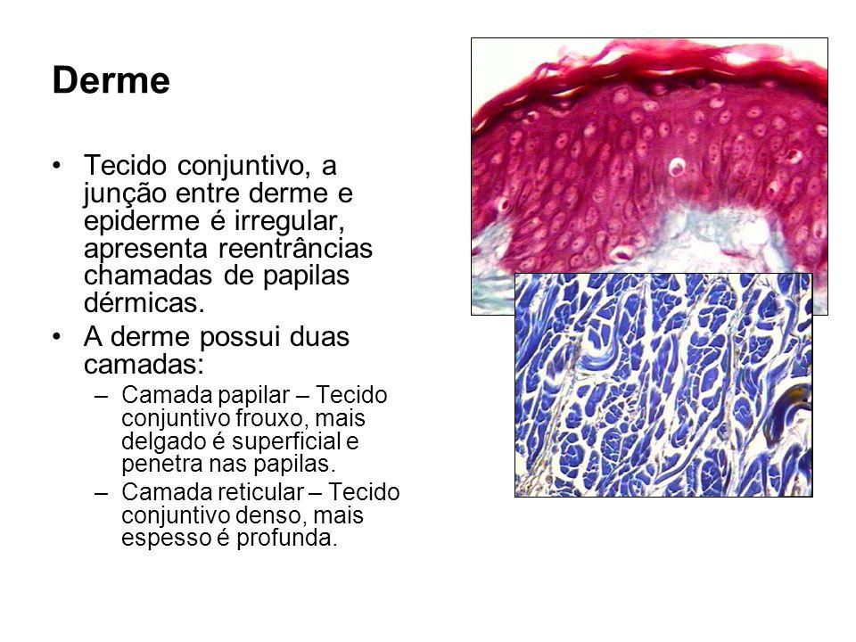 Derme Tecido conjuntivo, a junção entre derme e epiderme é irregular, apresenta reentrâncias chamadas de papilas dérmicas.