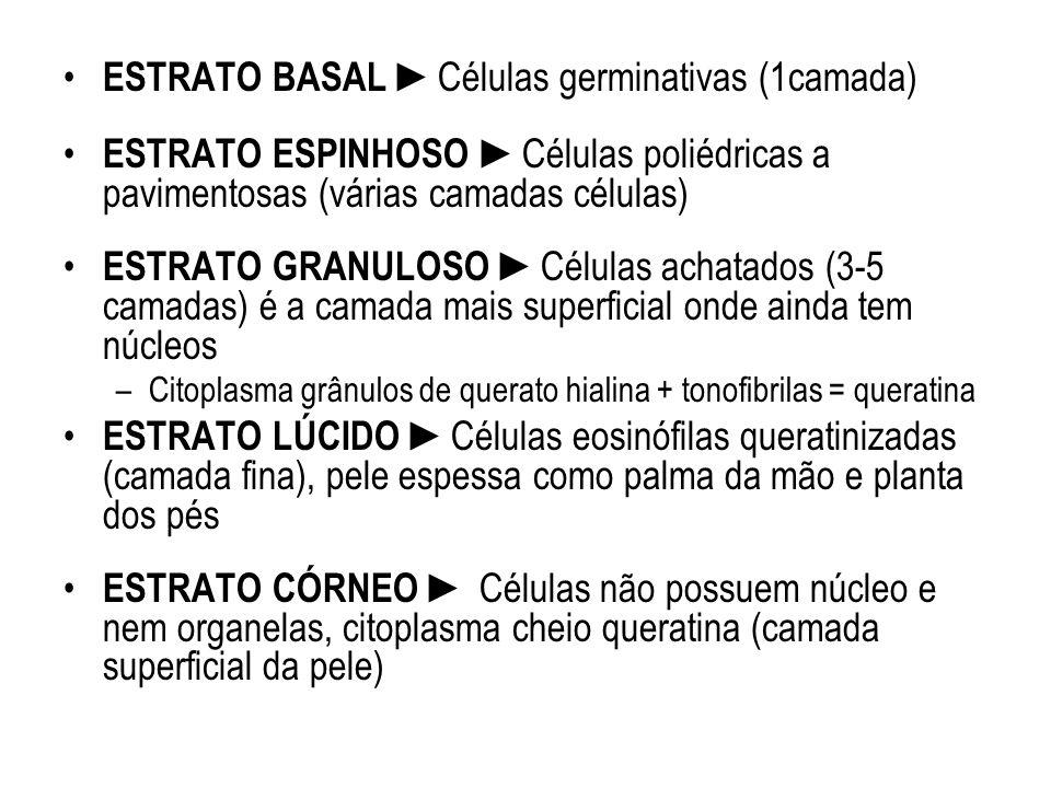 ESTRATO BASAL ►Células germinativas (1camada)