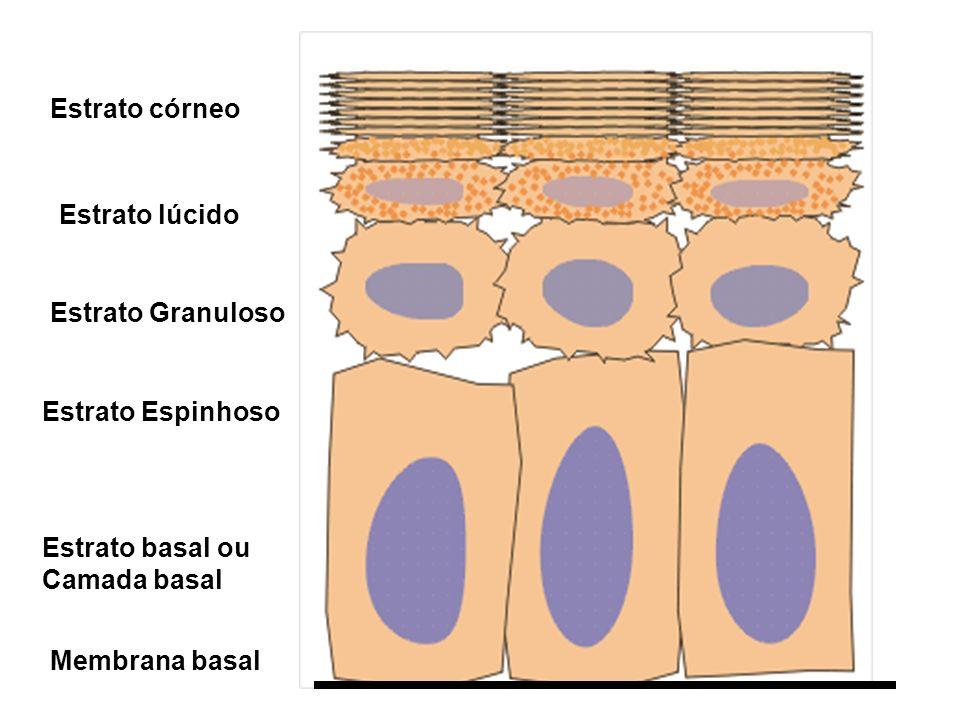 Estrato córneo Estrato lúcido. Estrato Granuloso. Estrato Espinhoso. Estrato basal ou Camada basal.