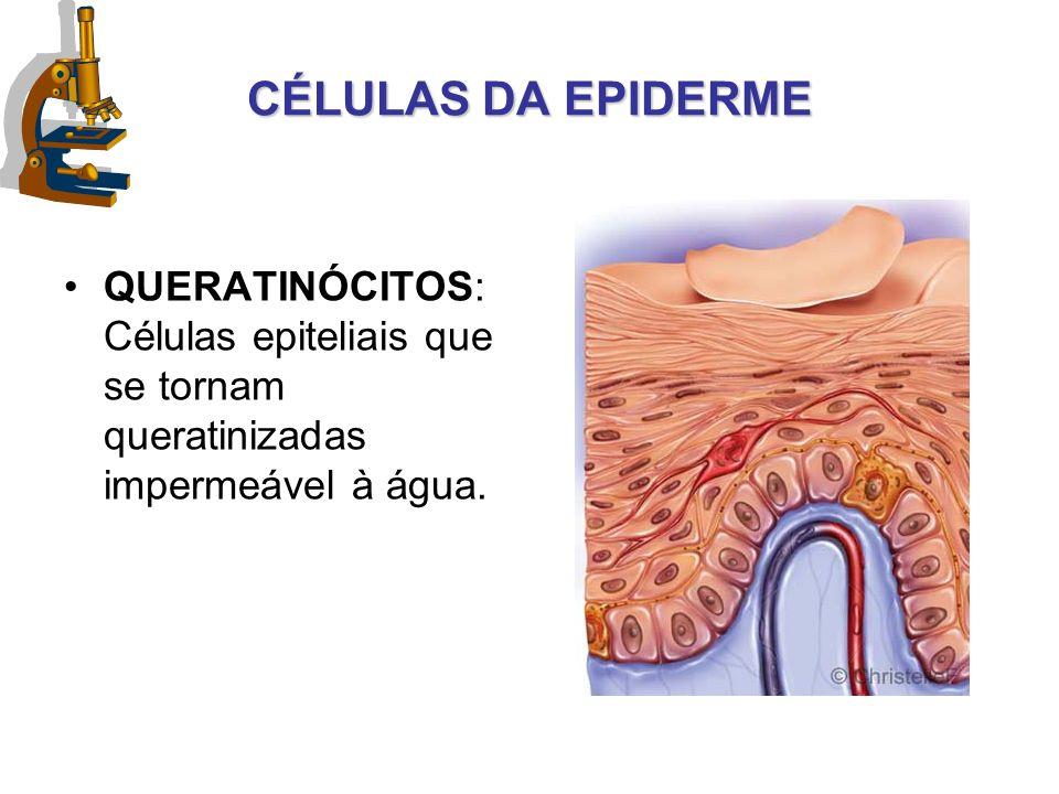 CÉLULAS DA EPIDERME QUERATINÓCITOS: Células epiteliais que se tornam queratinizadas impermeável à água.