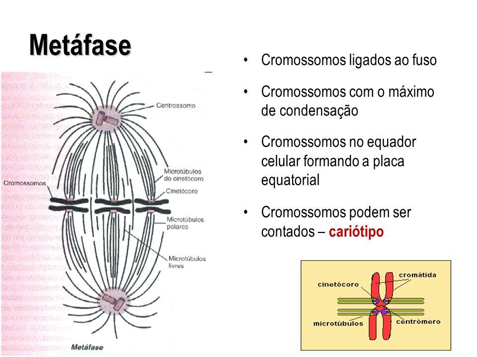 Metáfase Cromossomos ligados ao fuso
