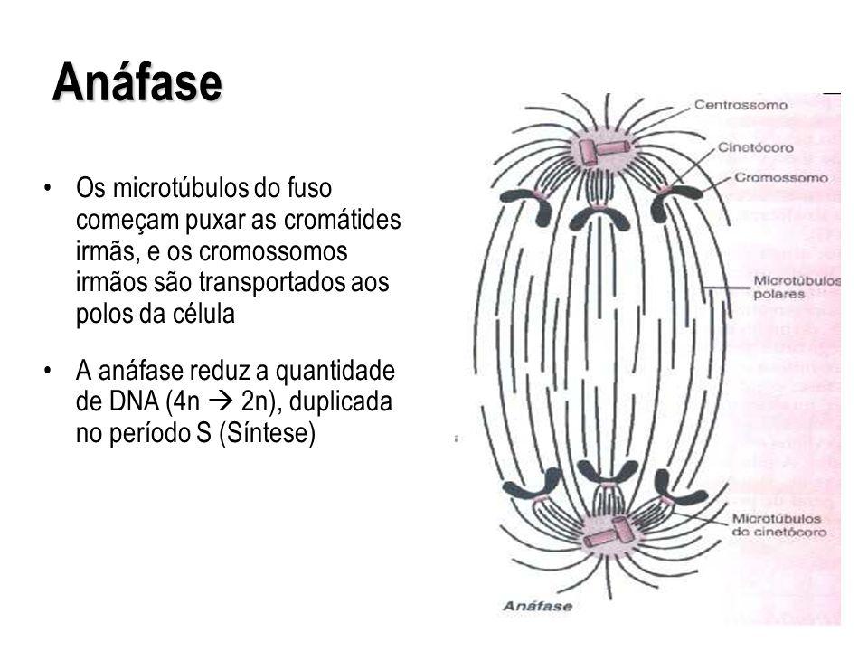 Anáfase Os microtúbulos do fuso começam puxar as cromátides irmãs, e os cromossomos irmãos são transportados aos polos da célula.