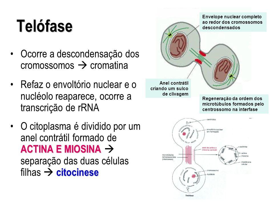 Telófase Ocorre a descondensação dos cromossomos  cromatina