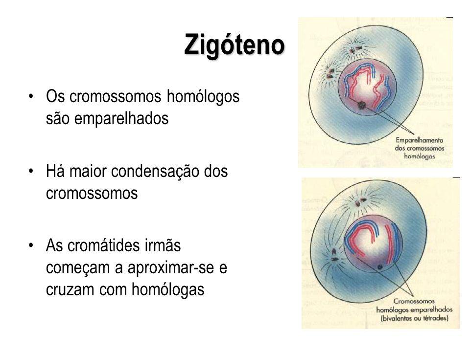 Zigóteno Os cromossomos homólogos são emparelhados