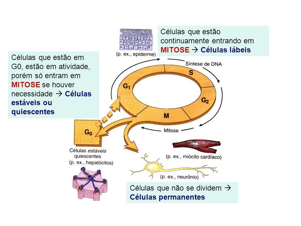 Células que estão continuamente entrando em MITOSE  Células lábeis