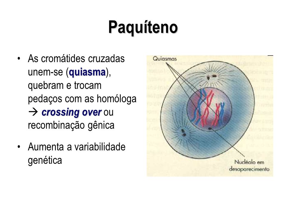 Paquíteno As cromátides cruzadas unem-se (quiasma), quebram e trocam pedaços com as homóloga  crossing over ou recombinação gênica.