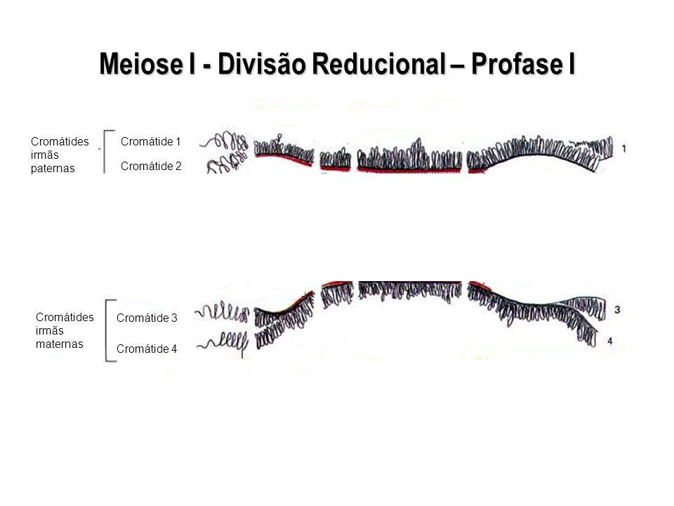Meiose I - Divisão Reducional – Profase I