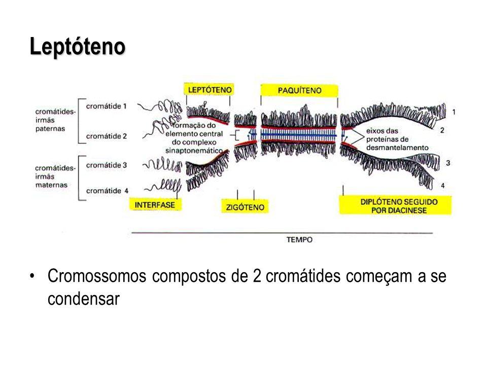 Leptóteno Cromossomos compostos de 2 cromátides começam a se condensar