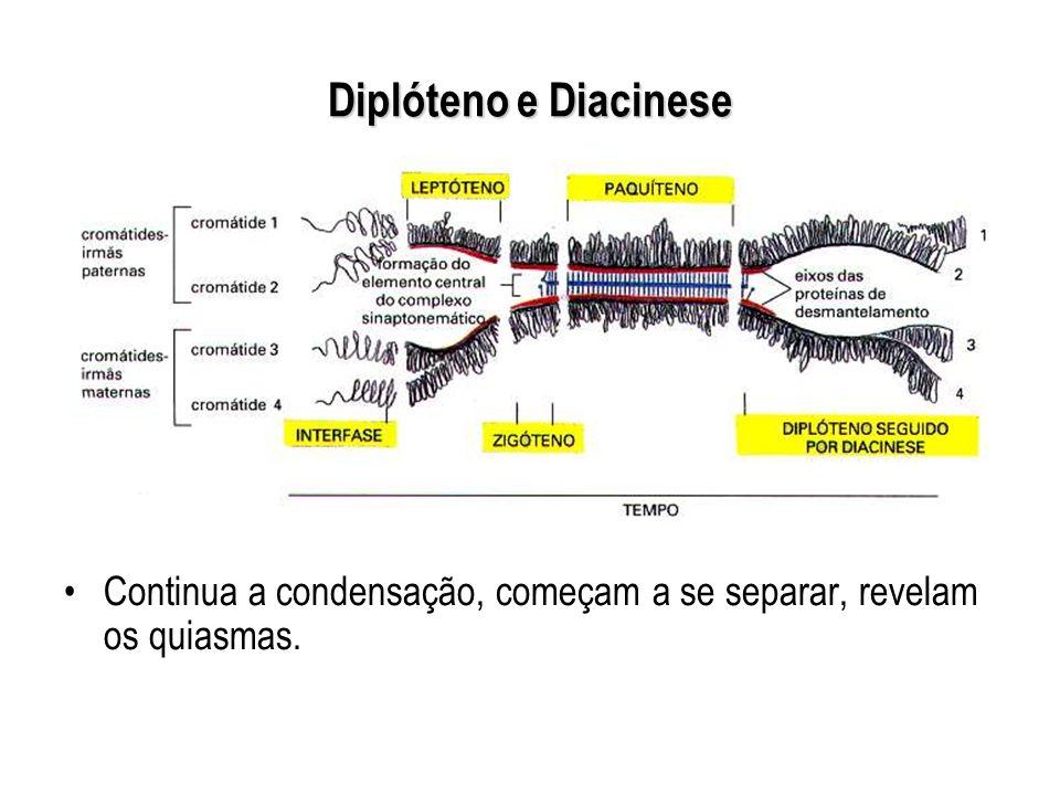 Diplóteno e Diacinese Continua a condensação, começam a se separar, revelam os quiasmas.