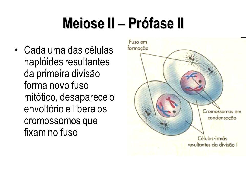 Meiose II – Prófase II