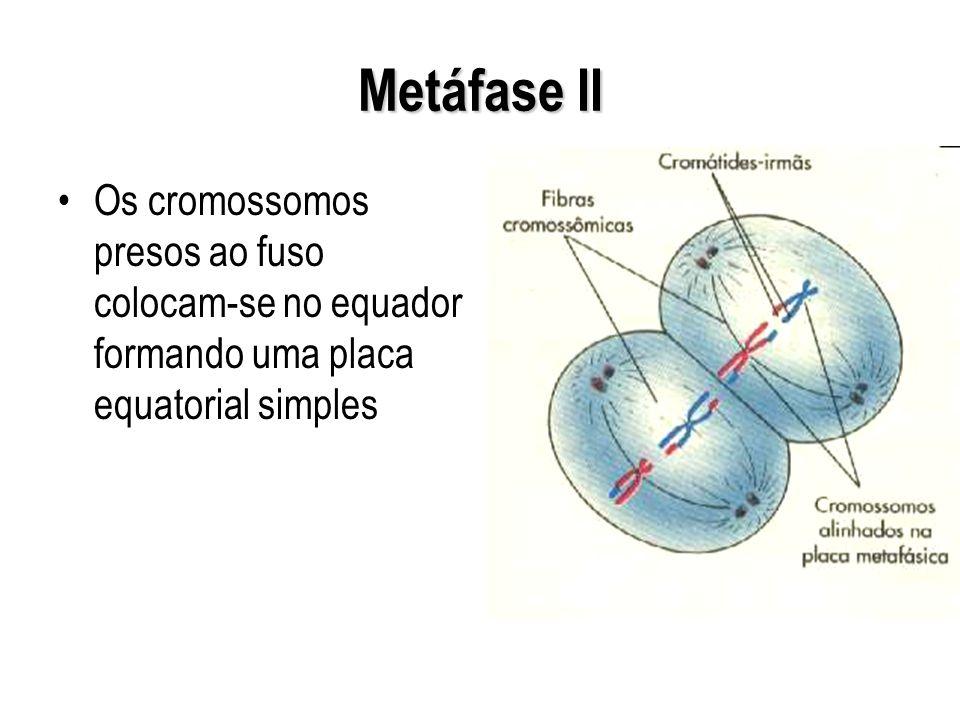 Metáfase II Os cromossomos presos ao fuso colocam-se no equador formando uma placa equatorial simples.