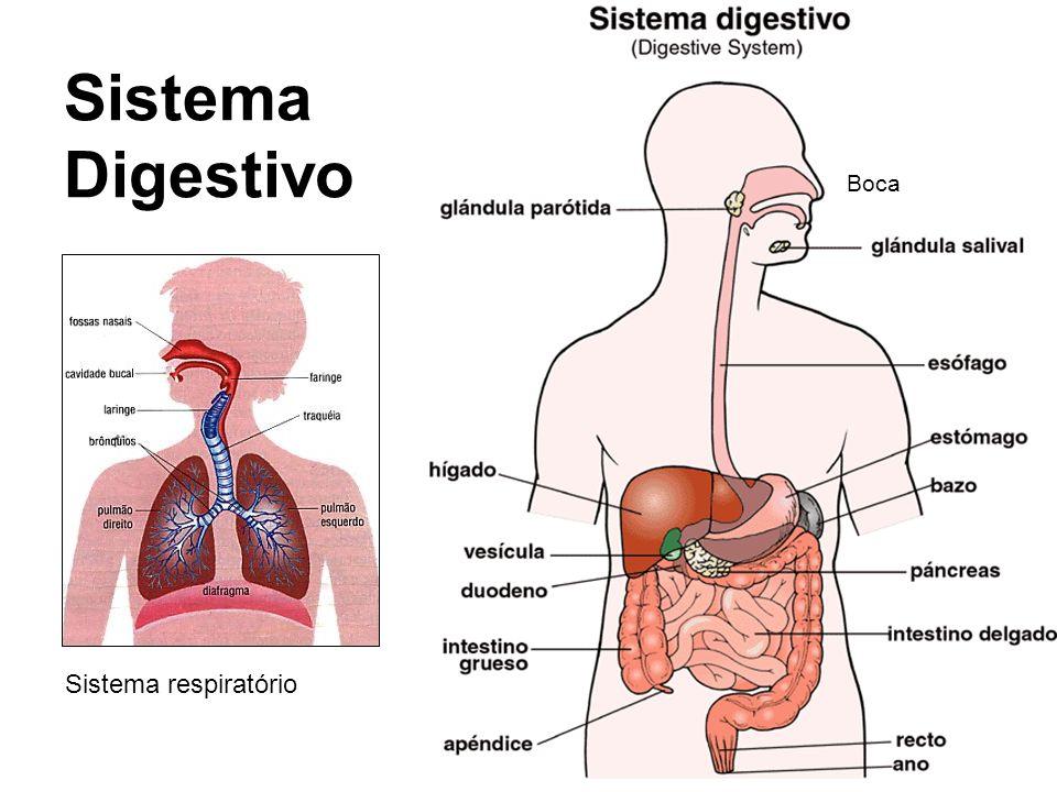 Sistema Digestivo Boca Sistema respiratório