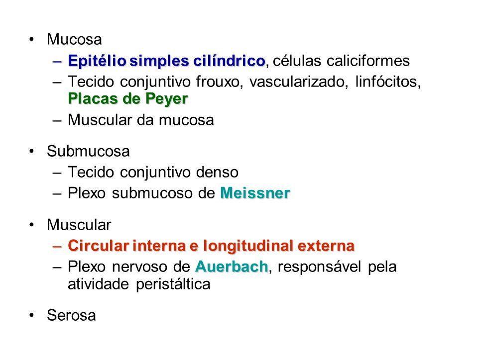 MucosaEpitélio simples cilíndrico, células caliciformes. Tecido conjuntivo frouxo, vascularizado, linfócitos, Placas de Peyer.