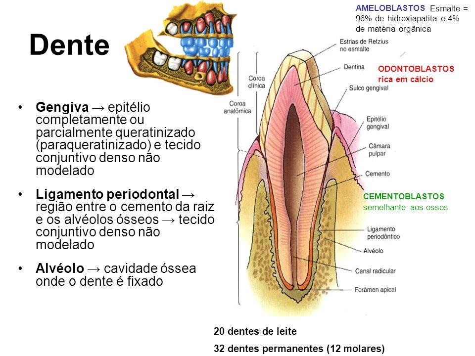 AMELOBLASTOS Esmalte = 96% de hidroxiapatita e 4% de matéria orgânica. ODONTOBLASTOS. rica em cálcio.