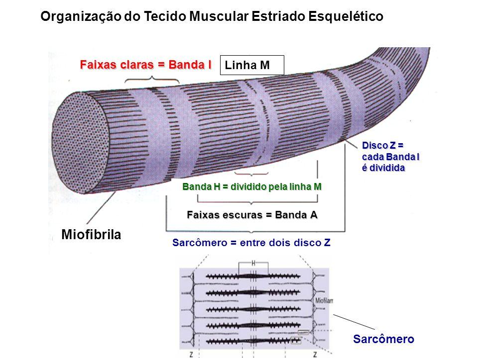 Organização do Tecido Muscular Estriado Esquelético