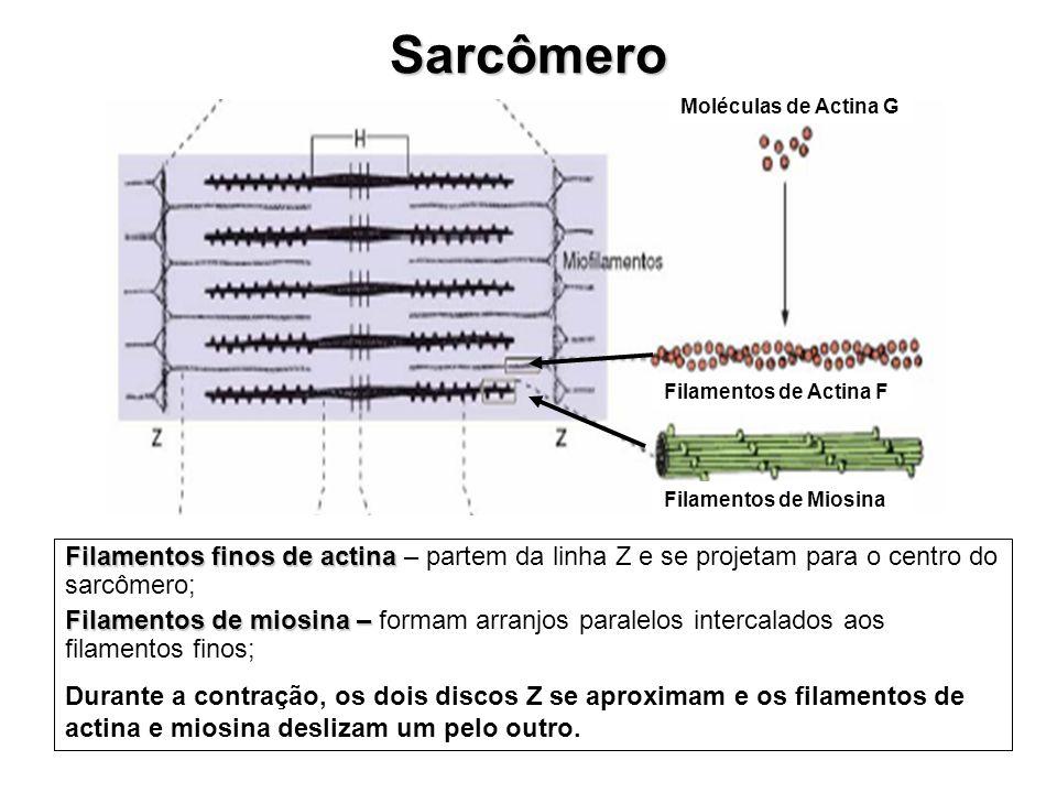 Sarcômero Moléculas de Actina G. Filamentos de Actina F. Filamentos de Miosina.
