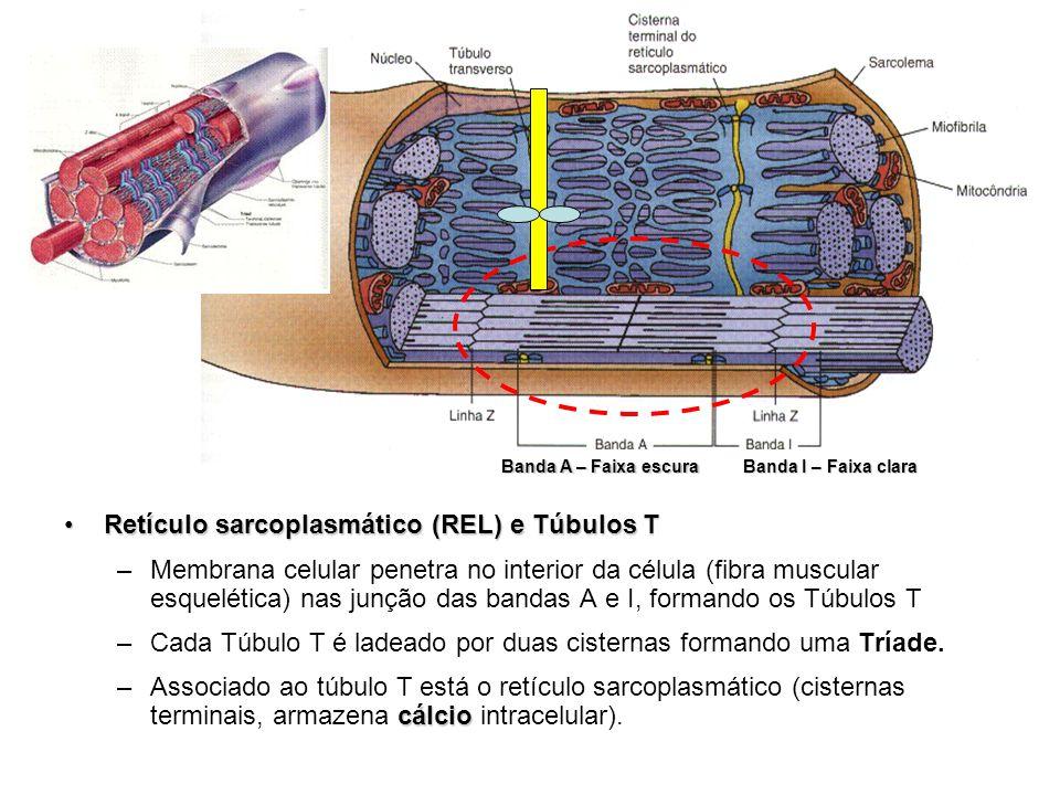 Retículo sarcoplasmático (REL) e Túbulos T