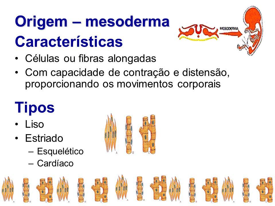 Origem – mesoderma Características Tipos Células ou fibras alongadas