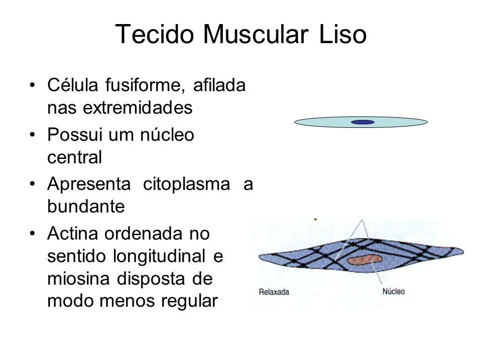 Tecido Muscular Liso Célula fusiforme, afilada nas extremidades