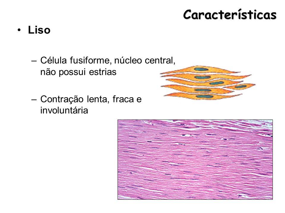 Características Liso. Célula fusiforme, núcleo central, não possui estrias.