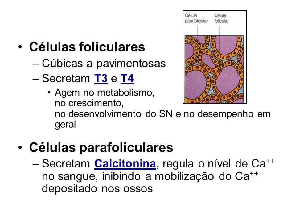 Tireóide Células foliculares Células parafoliculares