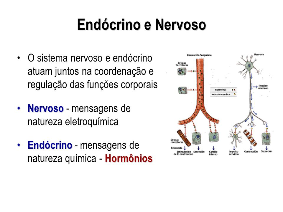 Endócrino e Nervoso O sistema nervoso e endócrino atuam juntos na coordenação e regulação das funções corporais.