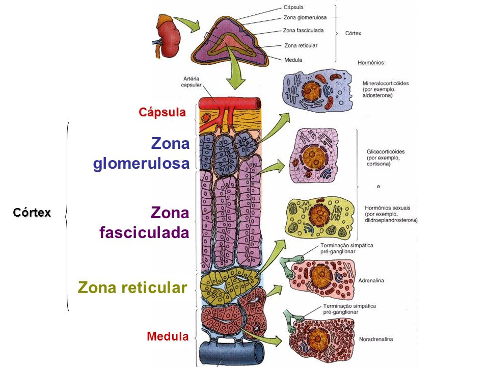 Cápsula Zona glomerulosa Córtex Zona fasciculada Zona reticular Medula