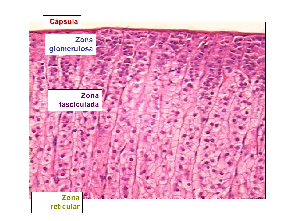 Cápsula Zona glomerulosa Zona fasciculada Zona reticular