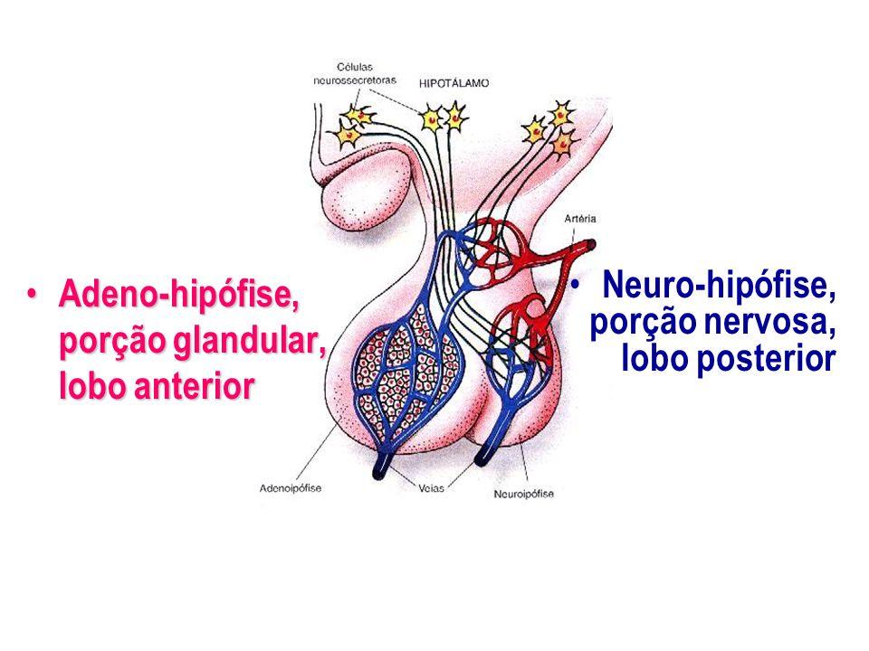 Adeno-hipófise, porção glandular, lobo anterior