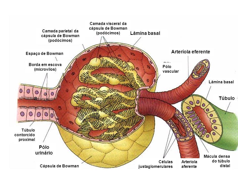 a Arteríola eferente Túbulo Pólo urinário Espaço de Bowman