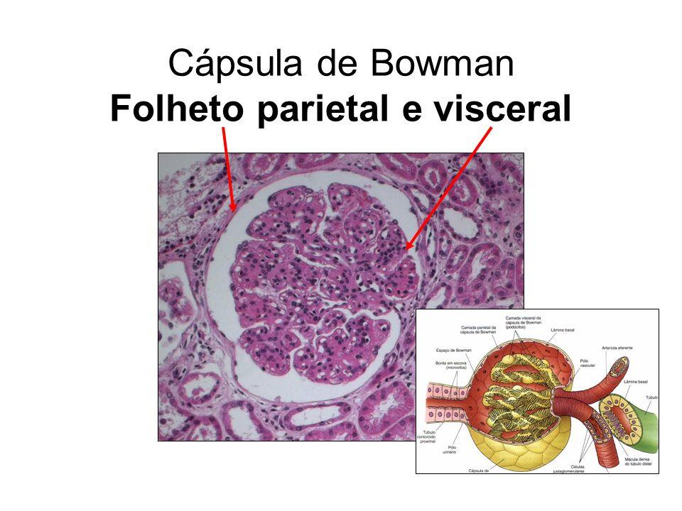 Cápsula de Bowman Folheto parietal e visceral