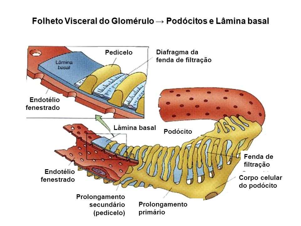 Folheto Visceral do Glomérulo → Podócitos e Lâmina basal