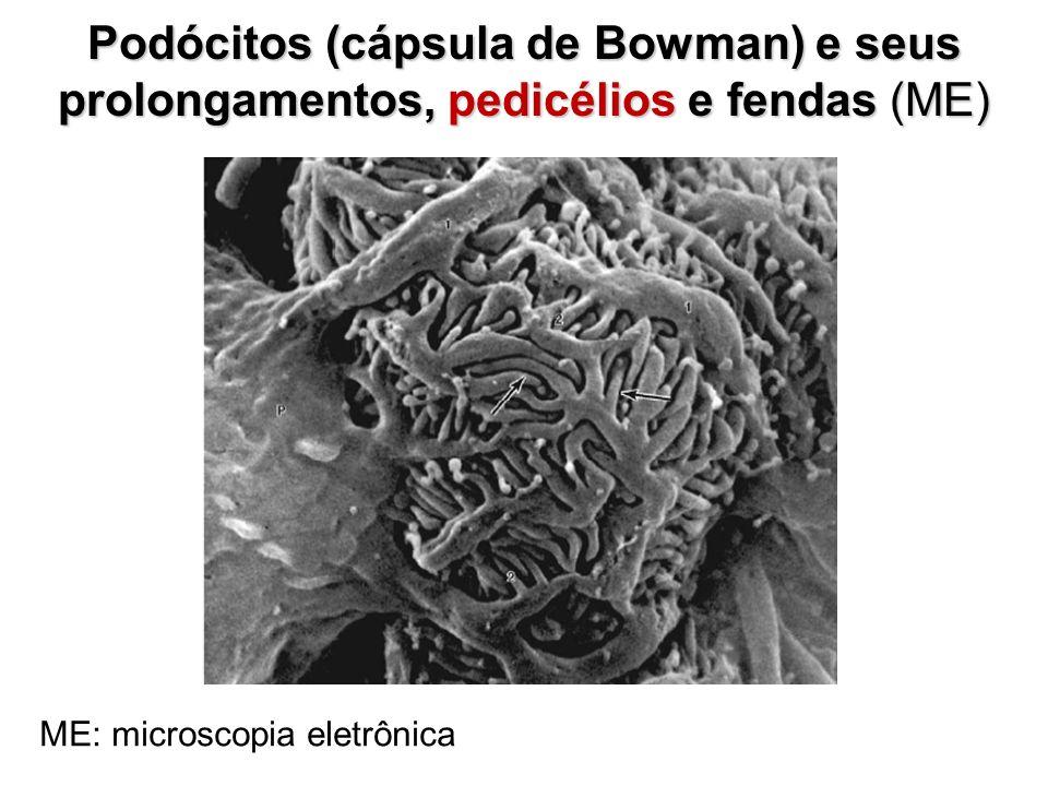 Podócitos (cápsula de Bowman) e seus
