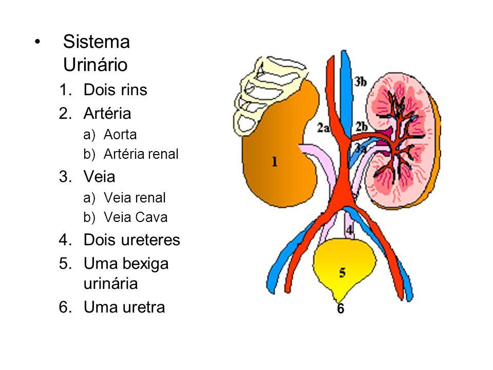 Sistema Urinário Dois rins Artéria Veia Dois ureteres