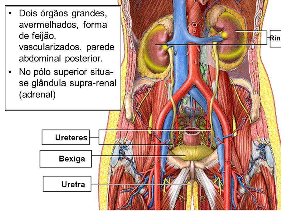 No pólo superior situa-se glândula supra-renal (adrenal)