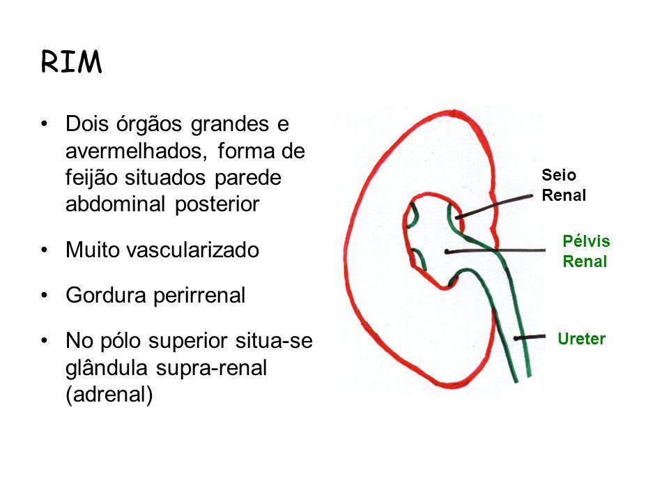 RIM Dois órgãos grandes e avermelhados, forma de feijão situados parede abdominal posterior. Muito vascularizado.
