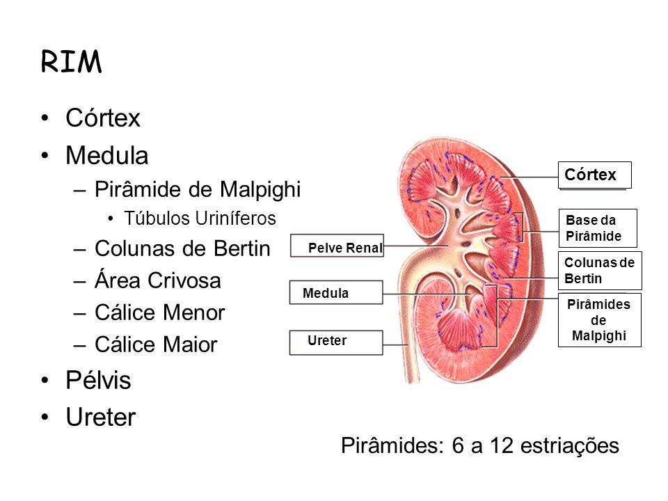 RIM Córtex Medula Pélvis Ureter Pirâmide de Malpighi Colunas de Bertin