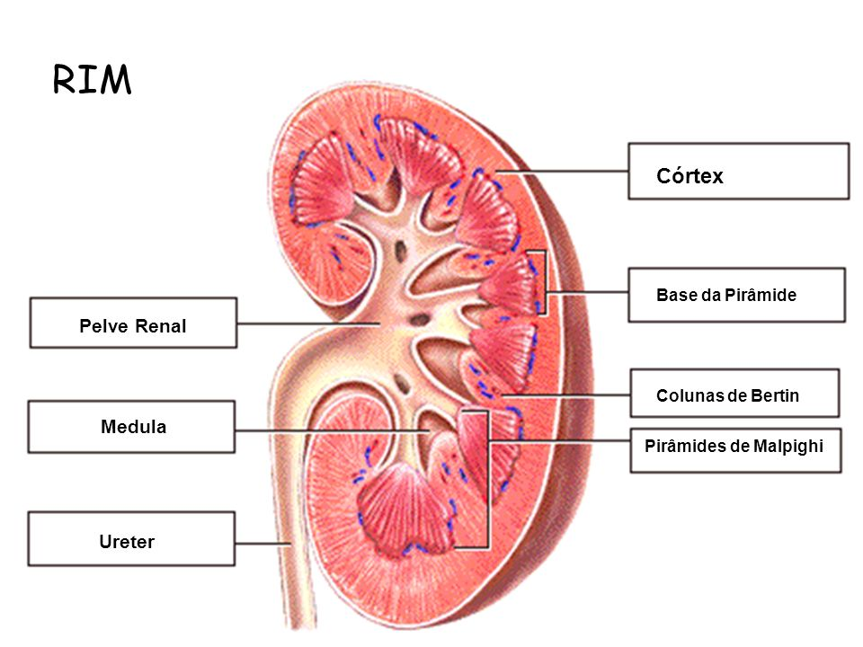 RIM Internal Structure of the Kidney • Label this diagram: Córtex