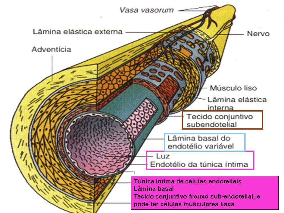 Túnica intima de células endoteliais