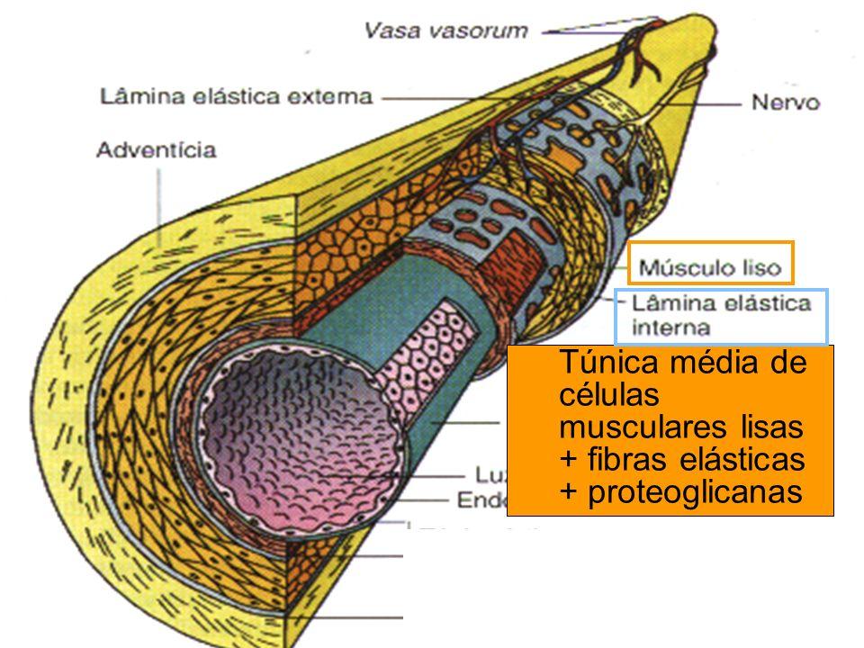 Túnica média de células musculares lisas + fibras elásticas + proteoglicanas