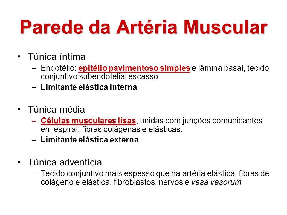Parede da Artéria Muscular