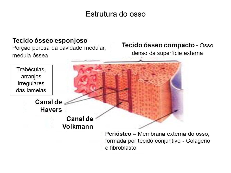 Estrutura do ossoPeriósteo – Membrana externa do osso, formada por tecido conjuntivo - Colágeno e fibroblasto.
