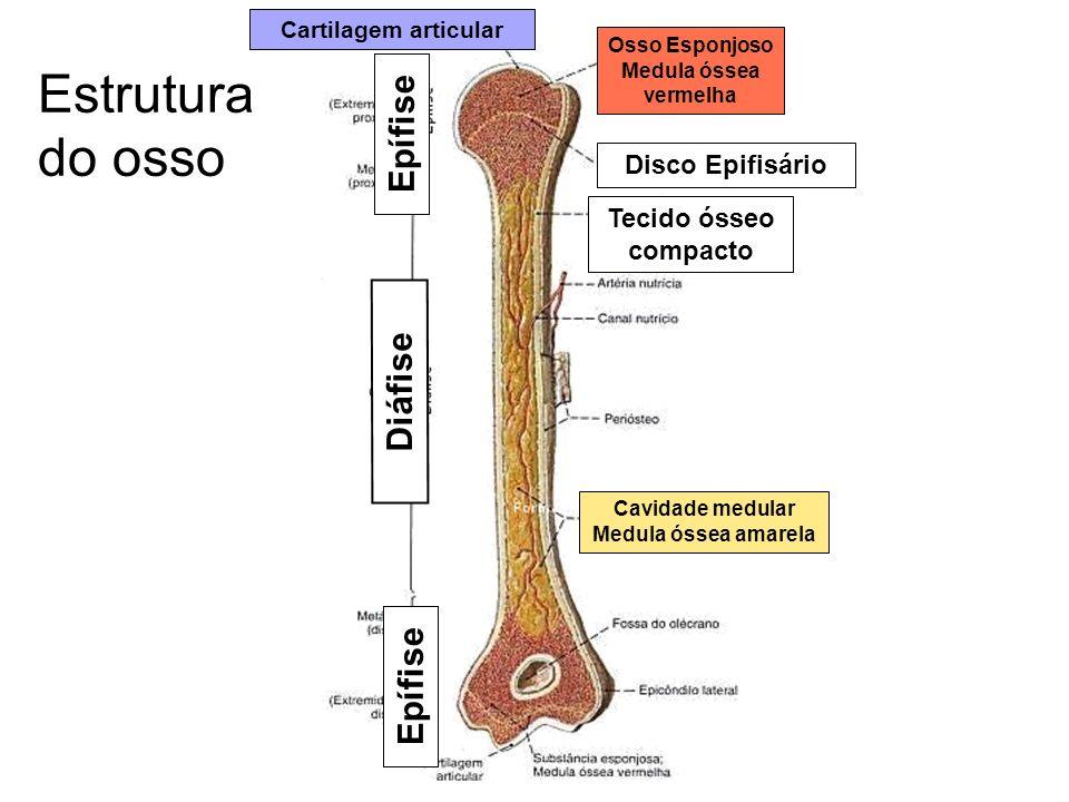 Estrutura do osso Diáfise Epífise Disco Epifisário